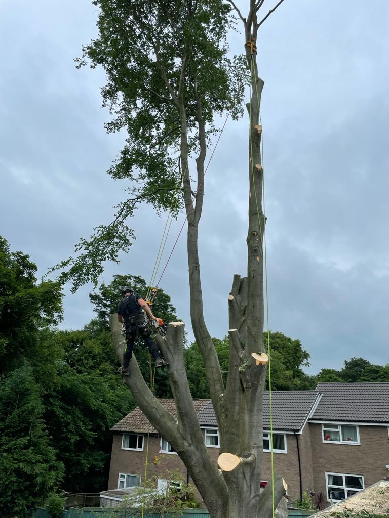 large beech tree removal in leeds.