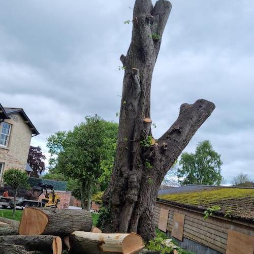 Stripped tree trunk ready to fell