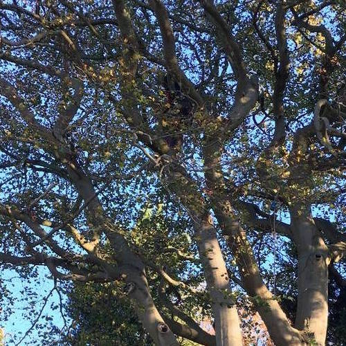 tree surgeon yorkshire thinning a large beech tree.